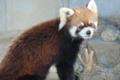 [misc] 市川市動植物園 レッサーパンダ ナミ