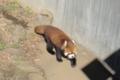 [misc] 市川市動植物園 レッサーパンダ