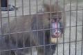 [misc] 市川市動植物園 マンドリル