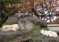 [travel] 旭山動物園・シンリンオオカミ