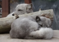 [travel] 旭山動物園・ホッキョクギツネ