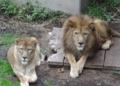 [travel] 旭山動物園・ライオン