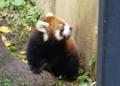 [travel] 旭山動物園・レッサーパンダ ノノ&栃の仔その2