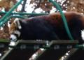[travel] 旭山動物園・レッサーパンダ 橋を渡るノノ