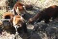 [drive] 市川市動植物園・レッサーパンダ メイファの仔2