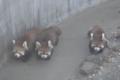 [drive] 市川市動植物園・レッサーパンダ メイファの仔1