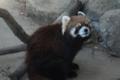 [drive] 市川市動植物園・レッサーパンダ ナミ1