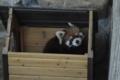 [drive] 市川市動植物園・レッサーパンダ ナミ2