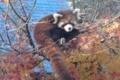 [drive] 市川市動植物園・レッサーパンダ メイファの仔6