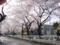 桜並木2009年4月