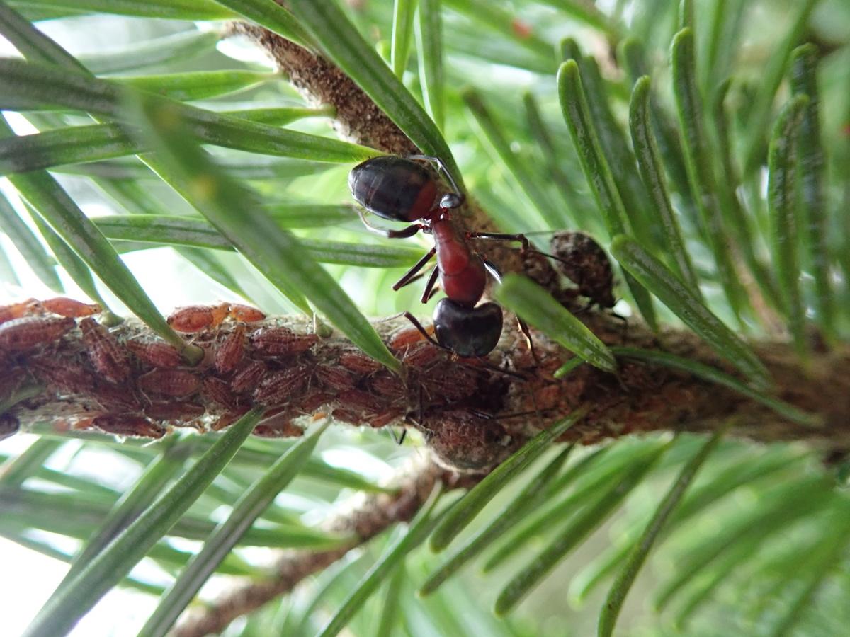 アブラムシから蜜をもらうムネアカオオアリ