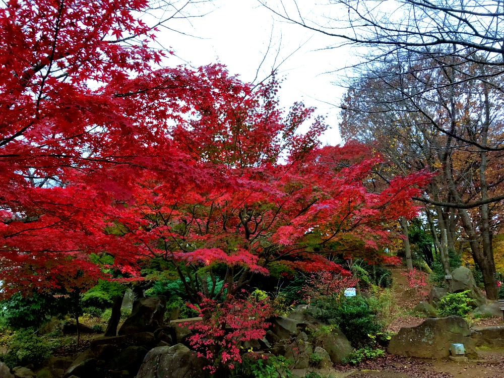 秋の西口公園、紅葉。