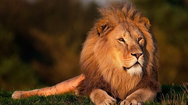 ライオン 上級者