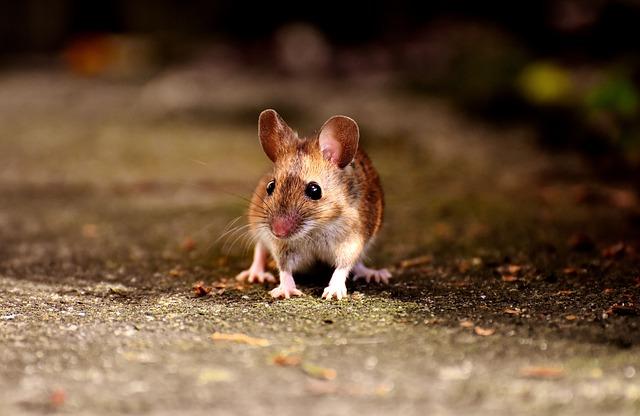 ネズミ 弱い 初級者