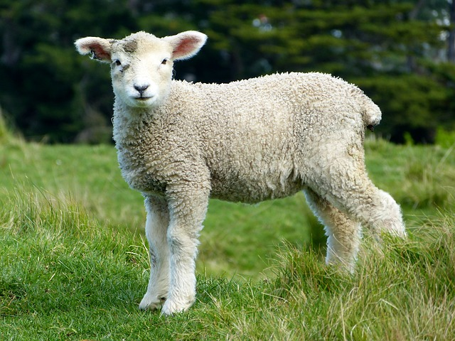 羊 中級者
