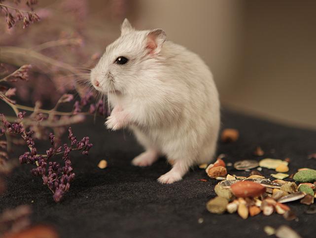 ネズミ Cフライト