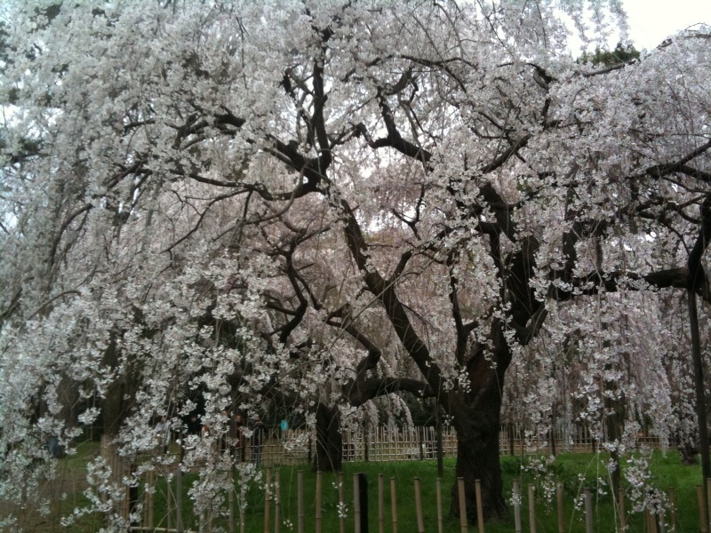 finally, I found sakura blooming