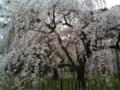 finally, I found sakura blooming