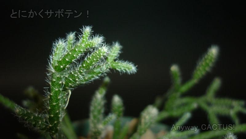 リプサリス属 ピロカルパ 窓辺でオシャレに育てられる森林性サボテン ウチのサボ とにかくサボテン