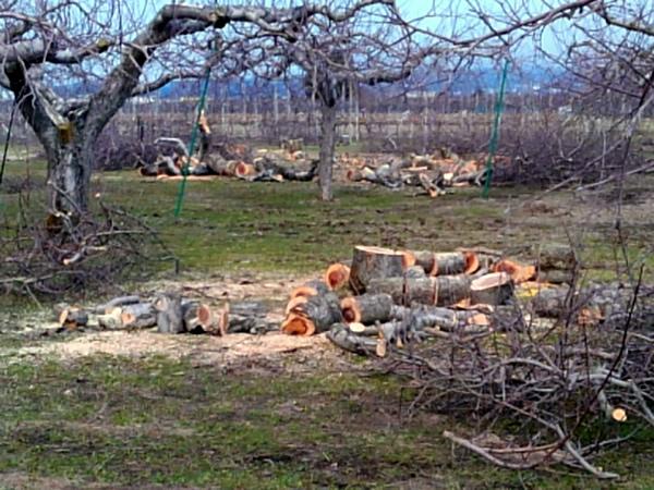 今年の春に伐採された林檎の木