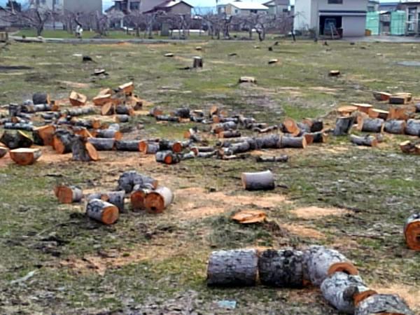 つい最近、何十本という林檎の木が切られた畑