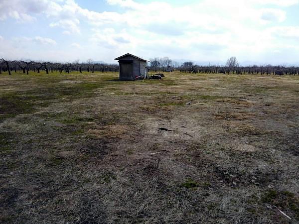 昨年の春に林檎の木が切られた畑