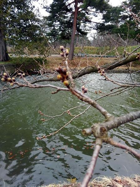 弘前公園 西堀の桜のつぼみの写真