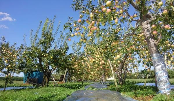 収穫を待つリンゴの写真01
