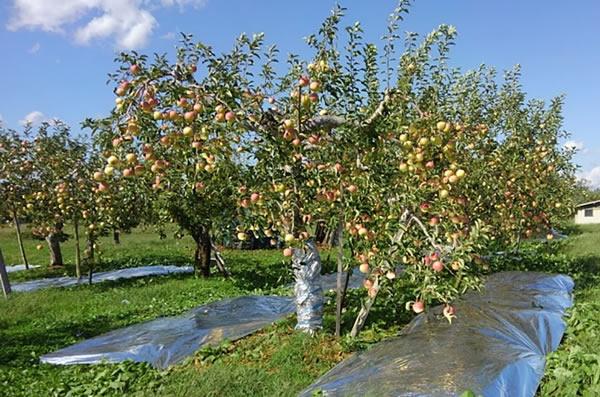 収穫を待つリンゴの写真02
