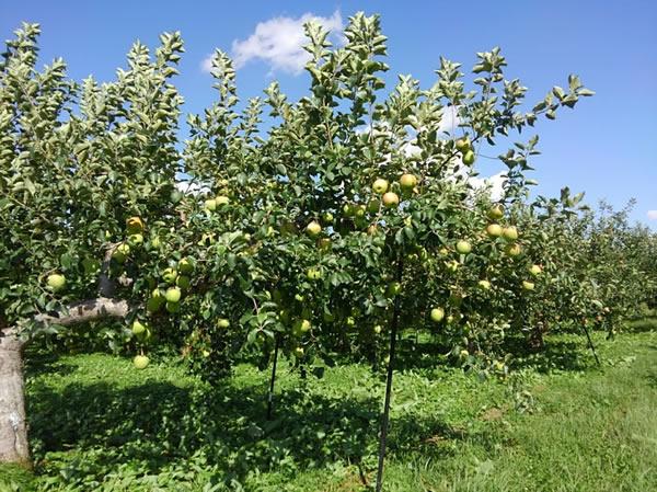 収穫を待つリンゴ「葉とらずふじ」の写真