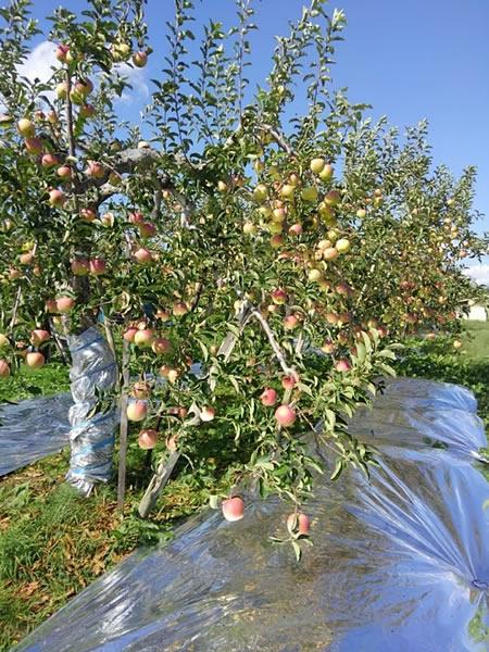 収穫を待つリンゴの写真03