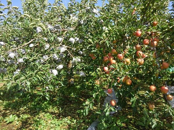 有袋栽培の「ふじ」と無袋栽培の「サンふじ」が実るリンゴの木の写真