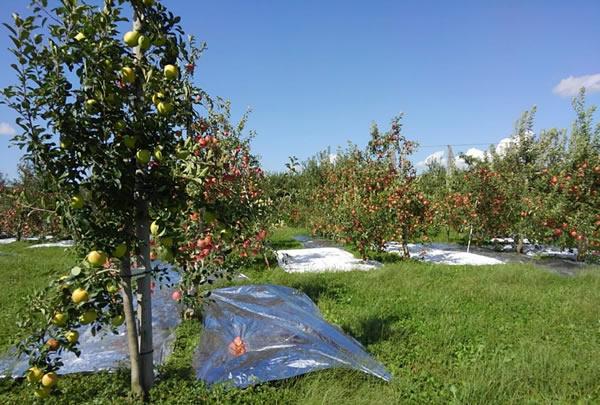 リンゴの木を大きくしない栽培方法の写真01