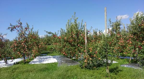 リンゴの木を大きくしない栽培方法の写真02