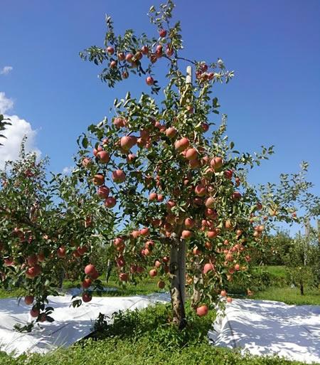 リンゴの木を大きくしない栽培方法の写真03