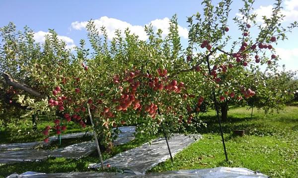 従来の栽培方法のリンゴの木の写真