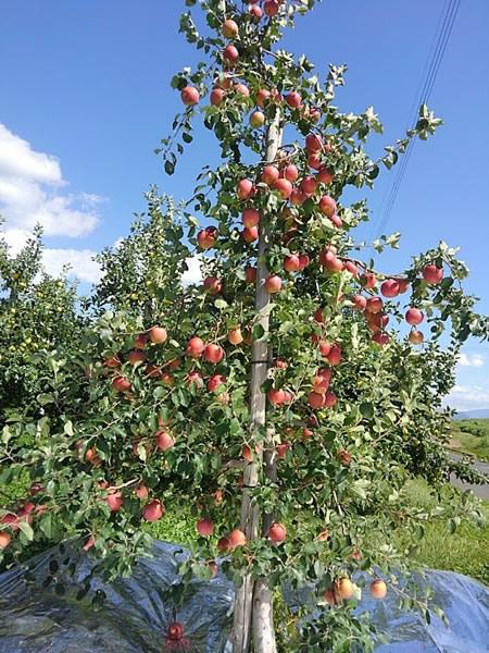 木を大きくしない栽培方法のリンゴの木の写真