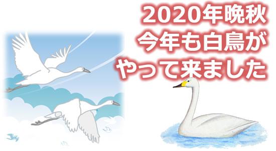 「2020年晩秋 今年も白鳥がやって来ました」のタイトル画像