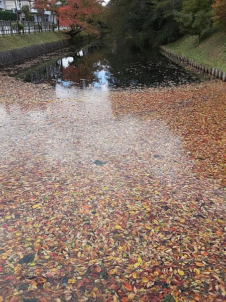 弘前公園の春の桜の季節は散った桜の花筏ができるところに紅葉筏ができている写真