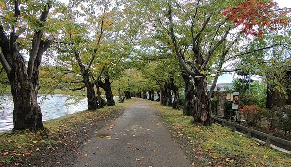 弘前公園の西堀の桜のトンネルの歩道 まだ緑の葉でまったく紅葉となっていませんでしたという写真