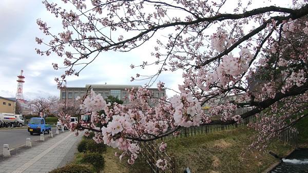裁判所前お濠端の桜の写真01