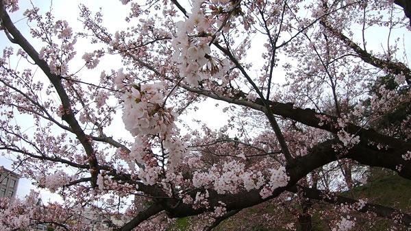 裁判所前お濠端の桜の写真02
