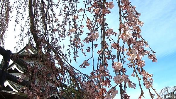 弘前城本丸の枝垂れ桜の写真