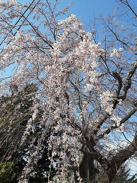 自宅近くの枝垂れ桜の写真