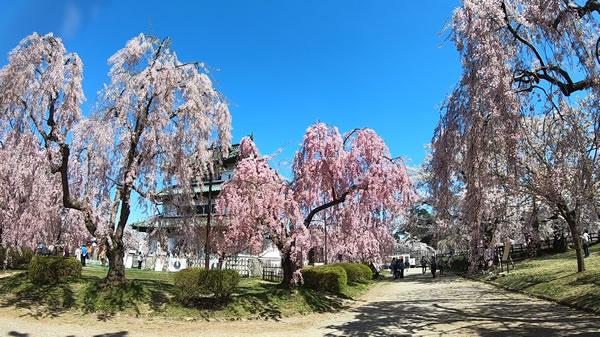 弘前城本丸の桜と天守閣