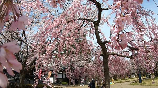 弘前城北の郭の桜