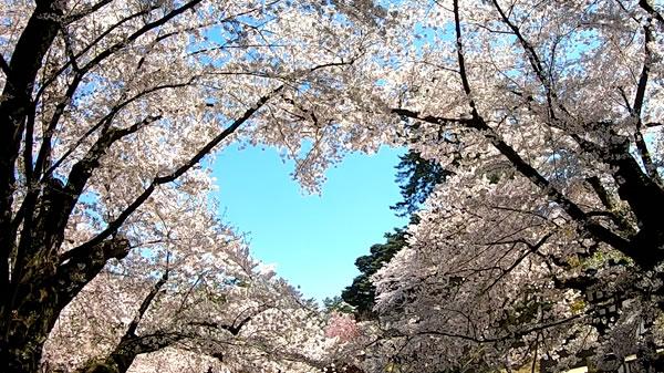 弘前公園のハート型の桜