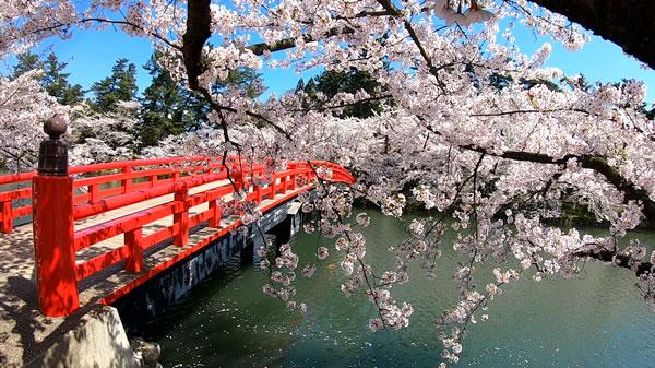 弘前城西堀の春陽橋と桜の写真