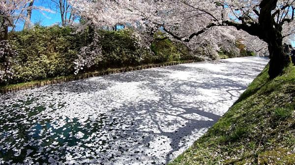 弘前公園の花筏(桜の絨毯)の写真