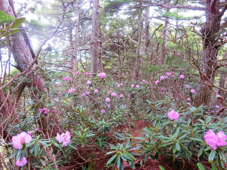 6月の鶏冠山・甲武信ヶ岳への登山は石楠花